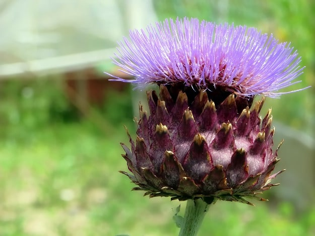 Take Artichoke Supplement | Lower Your Cholesterol Levels With These Medicinal Herbs