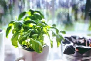 medicinal herbs basil pb