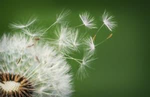 medicinal herbs dandelion ss
