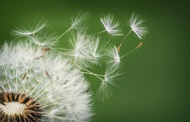 Grow Dandelions | Medicinal Herbs You Can Grow In Your Indoor Garden