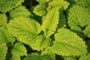 medicinal herbs lemon balm pb