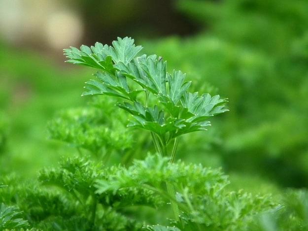 Grow Parsley | Medicinal Herbs You Can Grow In Your Indoor Garden
