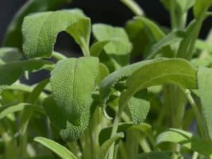 medicinal herbs sage pb
