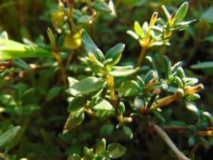 medicinal herbs thyme pb