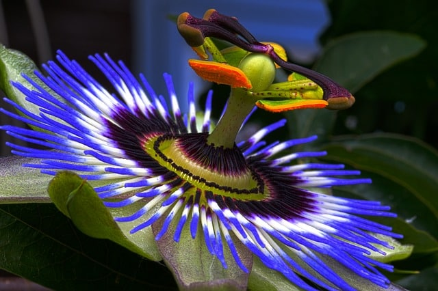 passion flower as an alternative remedy