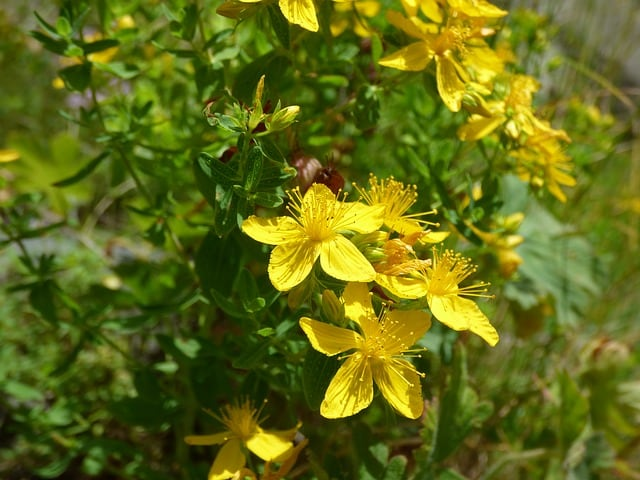 st johns wort as a natural remedy