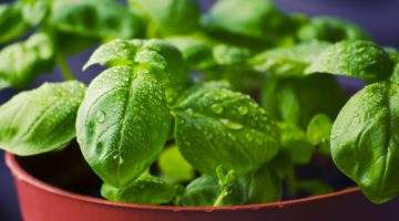 Health Benefits and Uses for Basil