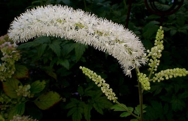 Black Cohosh Lotion is an amazing menopause treatment