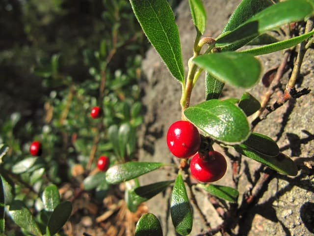 Bearberry for trating UTIs