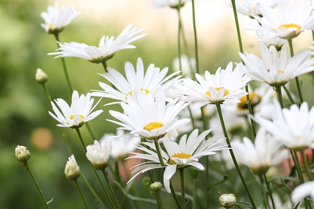 Chamomile Oil, another amazing pain relief essential oil