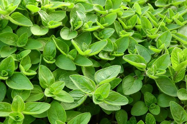 Sweet Marjoram contains anti-inflammatory properties